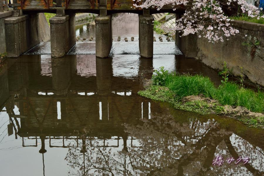 小江戸川越桜祭り1(誉桜7)変更済