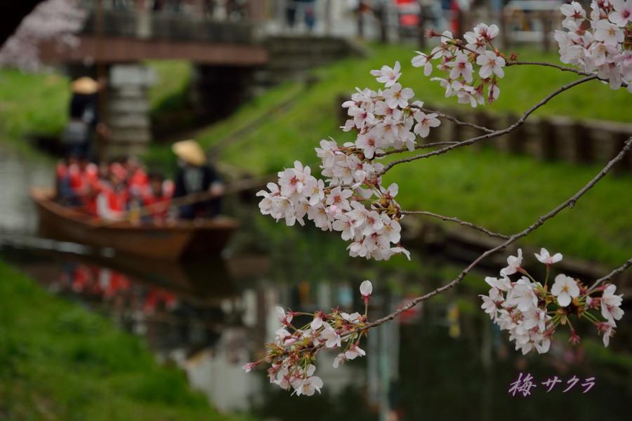 小江戸川越桜祭り1(誉桜13)変更済