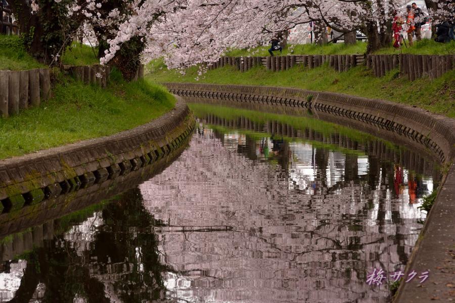 小江戸川越桜祭り2(1)変更済