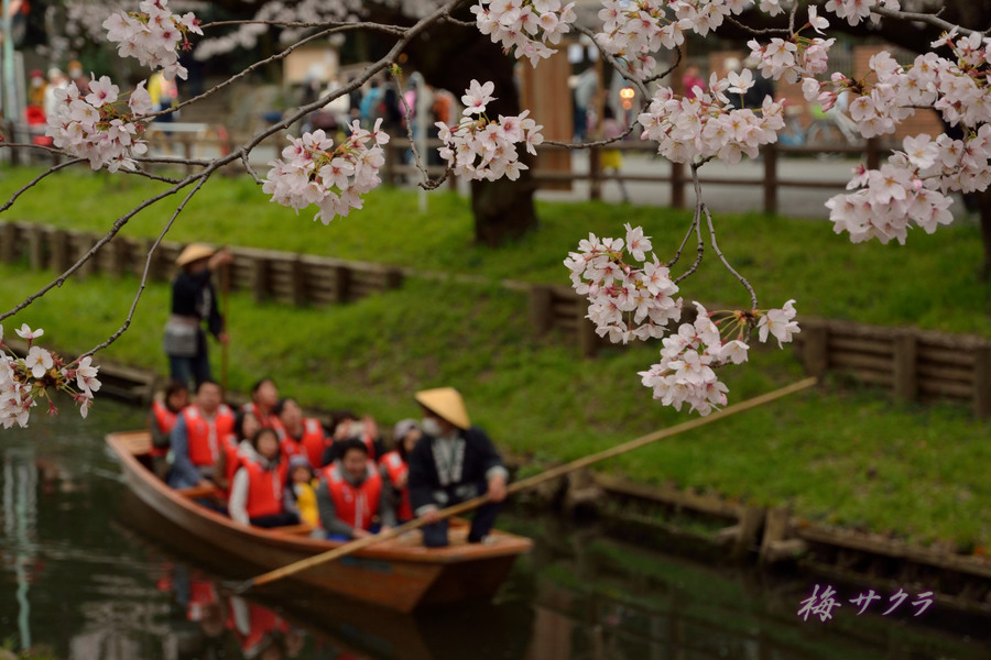 小江戸川越桜祭り2(9)変更済