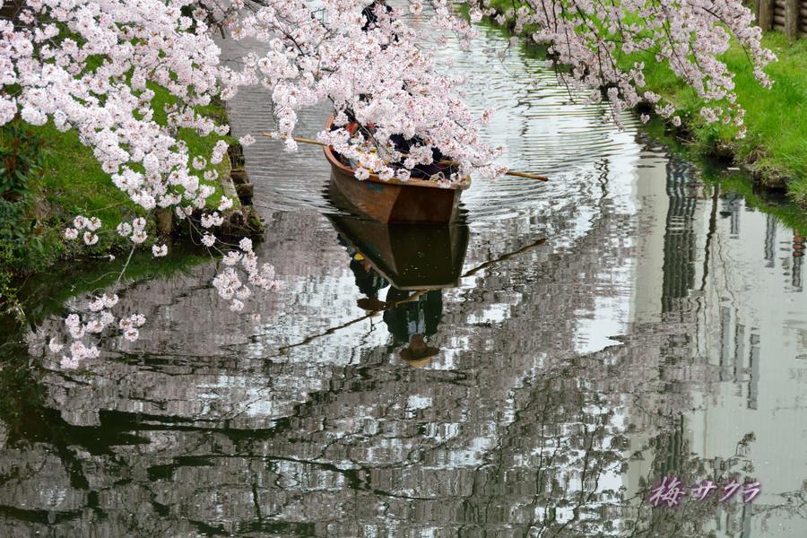 小江戸川越桜祭り3(1)変更済