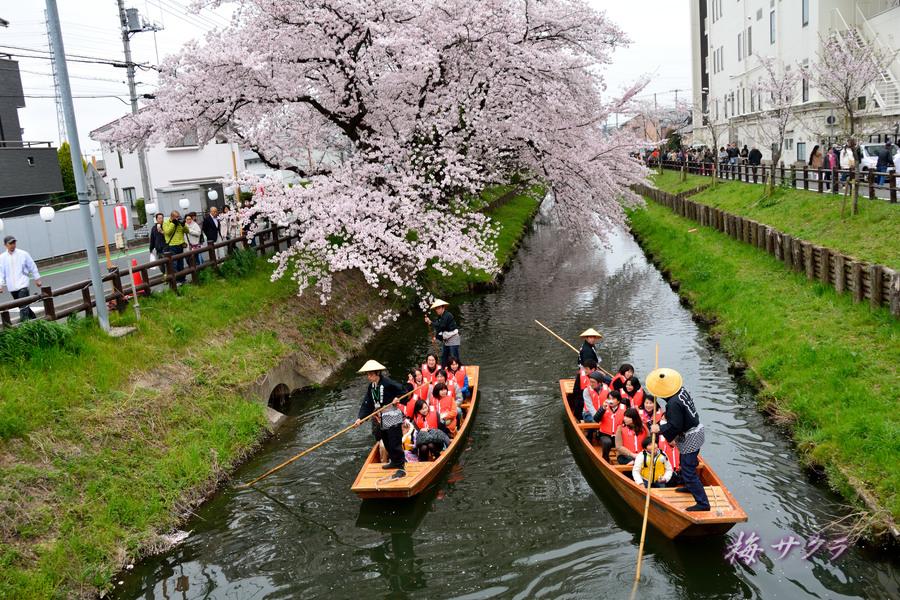 小江戸川越桜祭り3(4)変更済