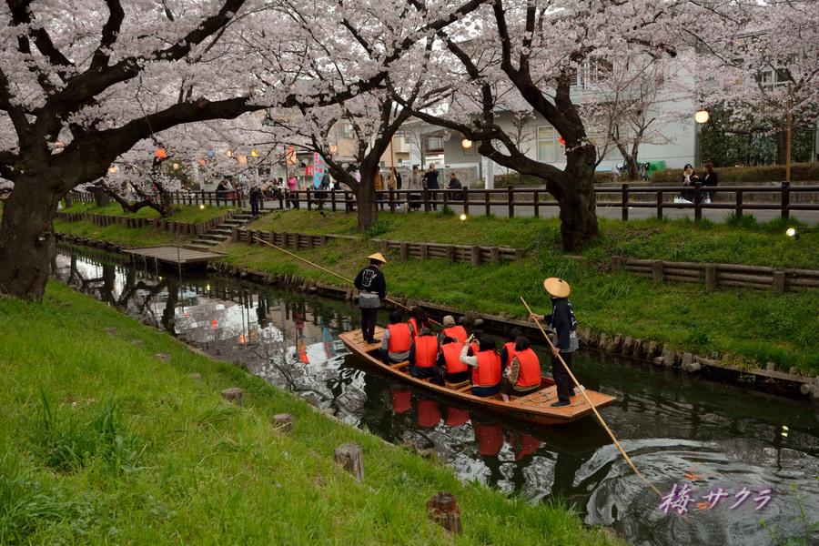 小江戸川越桜祭り3(7)変更済