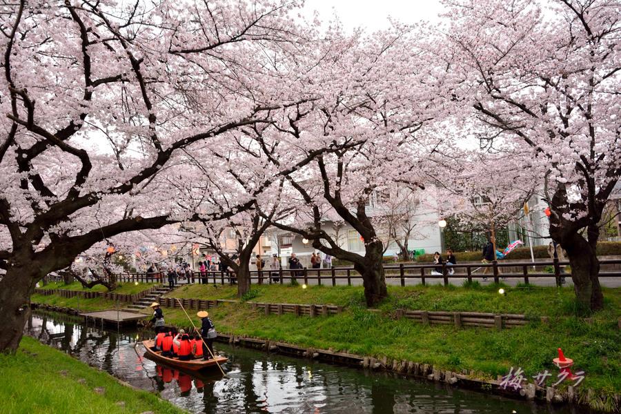 小江戸川越桜祭り3(8)変更済
