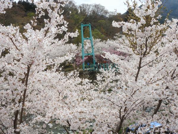 160416桜道志村0005