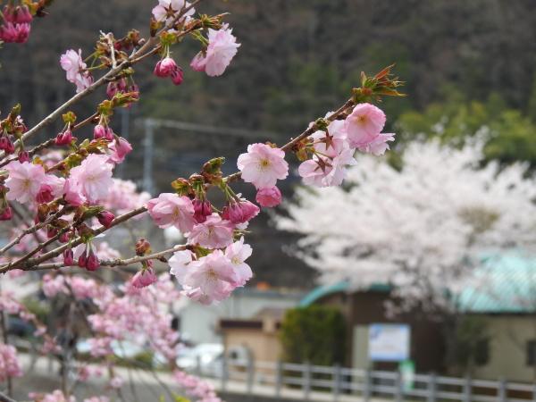 160416桜道志村0007