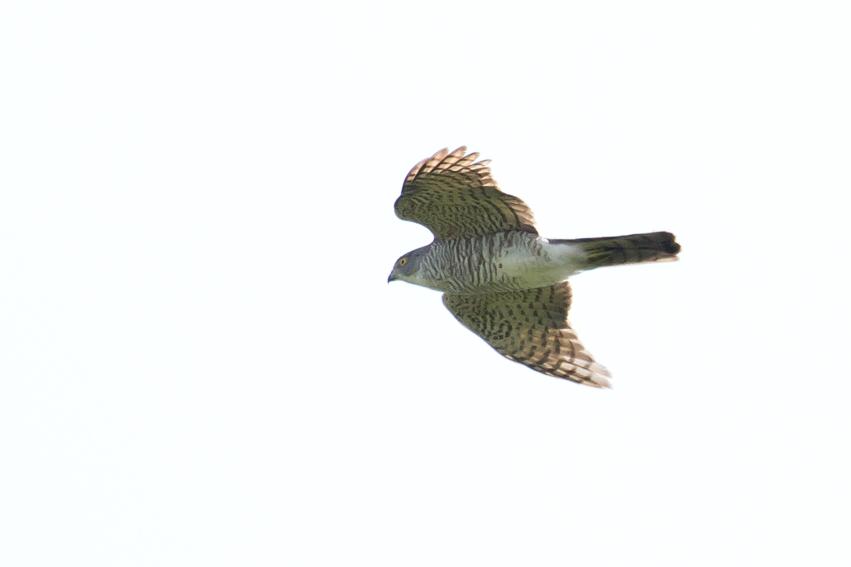 160419渡りツミ幼鳥