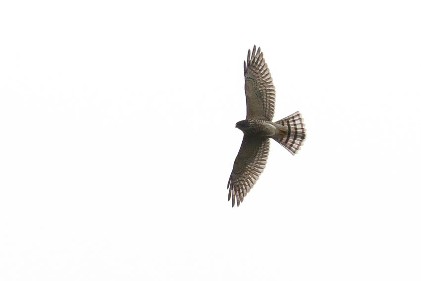 160912アカハラダカ幼鳥