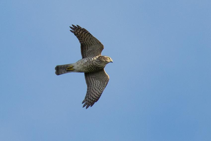 160913ツミ幼鳥