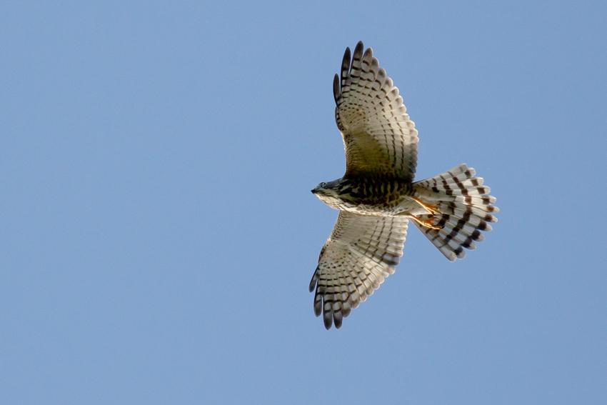 160925アカハラダ幼鳥1