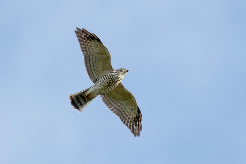 160924アカハラダカ幼鳥1