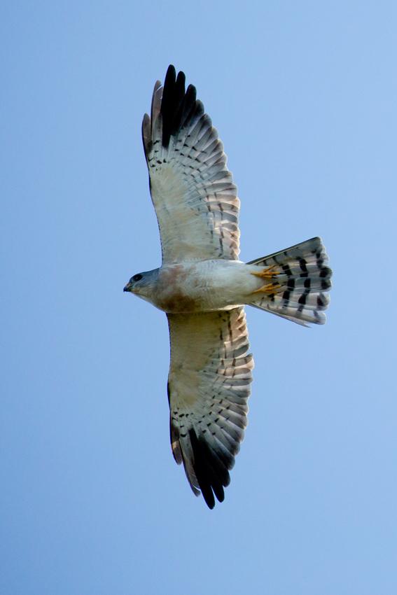 160930アカハラダカオス亜成鳥1