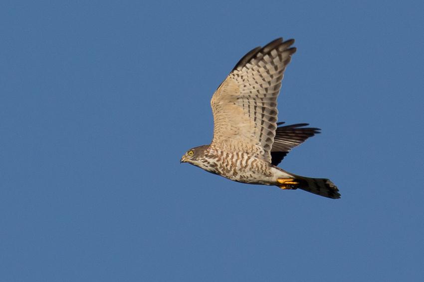 160930アカハラダカ幼鳥1
