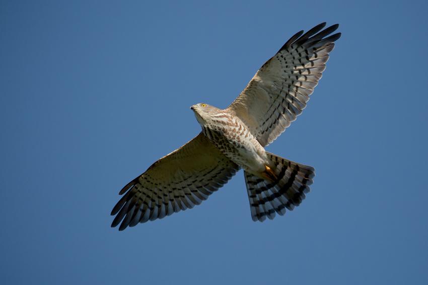 160930アカハラダカ幼鳥2