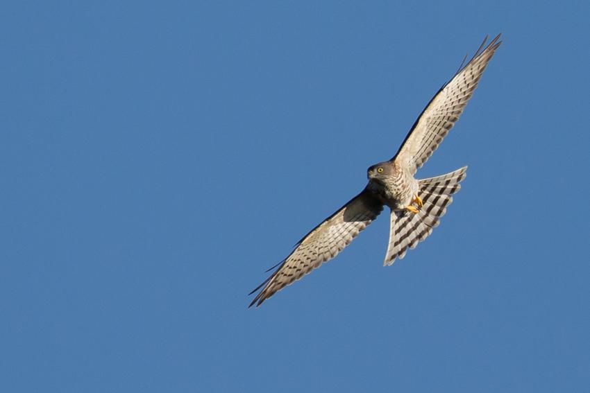 161001アカハラダカ幼鳥1
