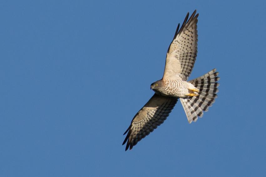 161001アカハラダカ幼鳥2