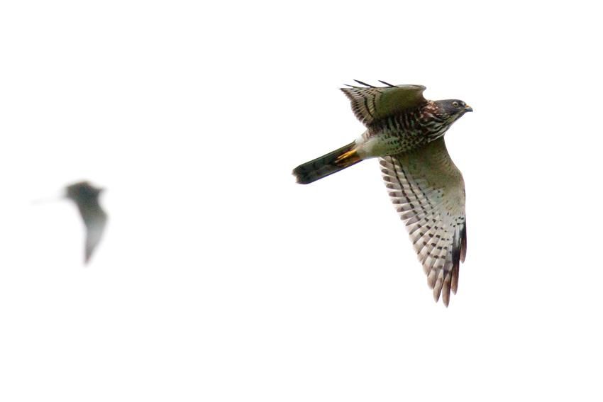 161010アカハラダカ幼鳥