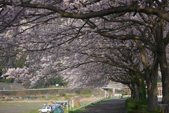 05満開の桜3