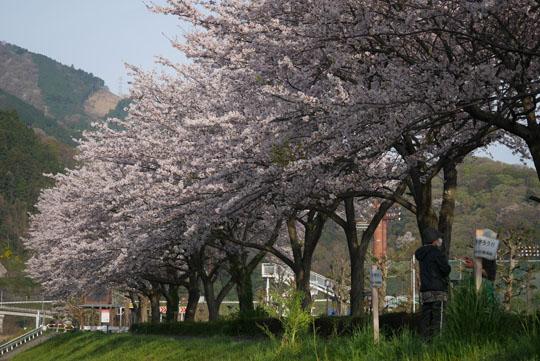 04満開の桜2