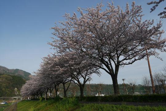 03満開の桜1