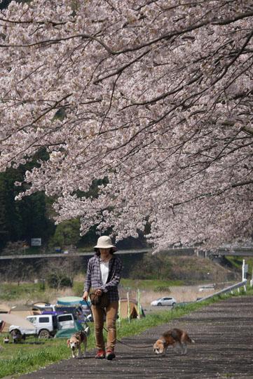 14桜の下の散歩4