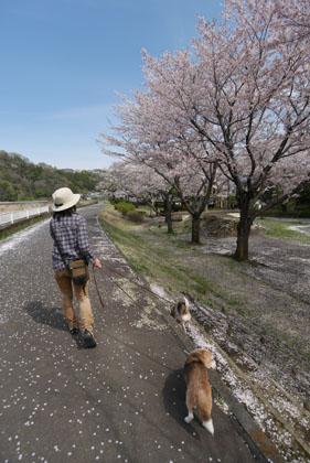 12桜の下の散歩3