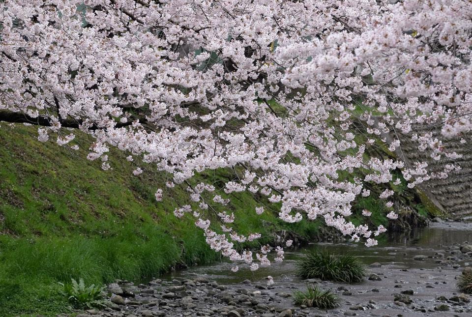 5046 根川緑道の桜 960×645