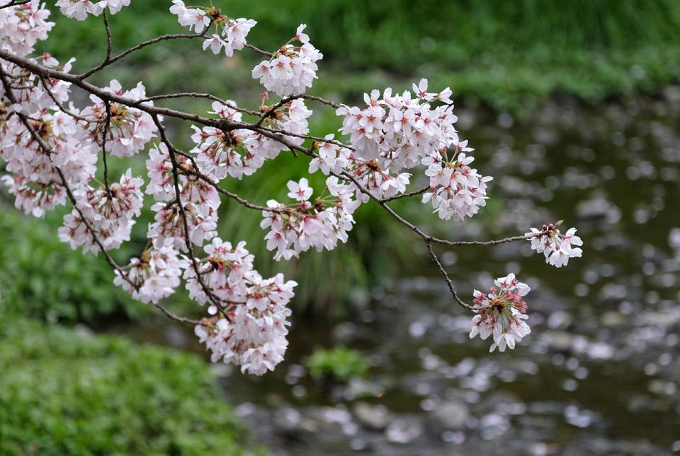 5048 根川緑道の桜 960×645