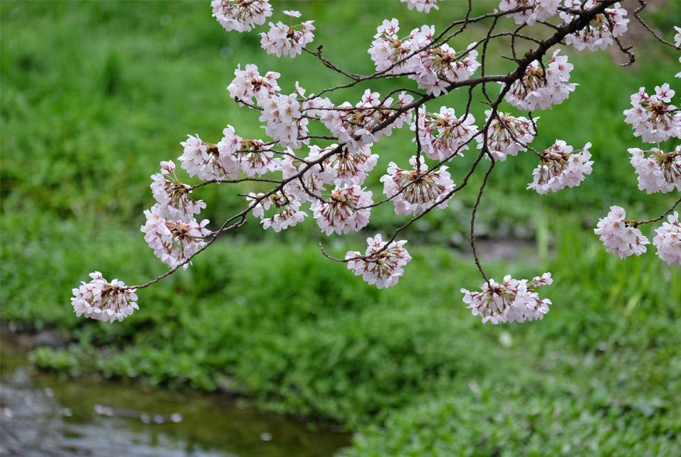 5049 根川緑道の桜 960×645
