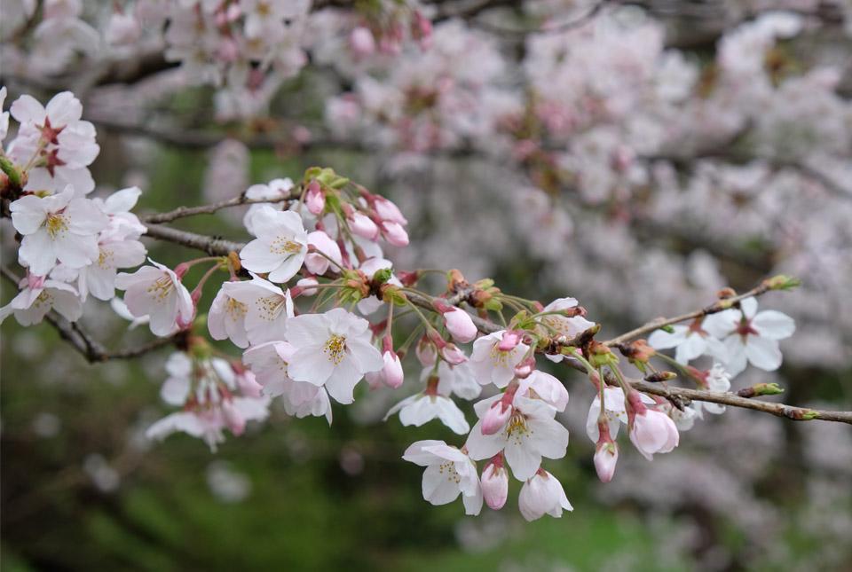 5088 矢川緑地の桜 960×645