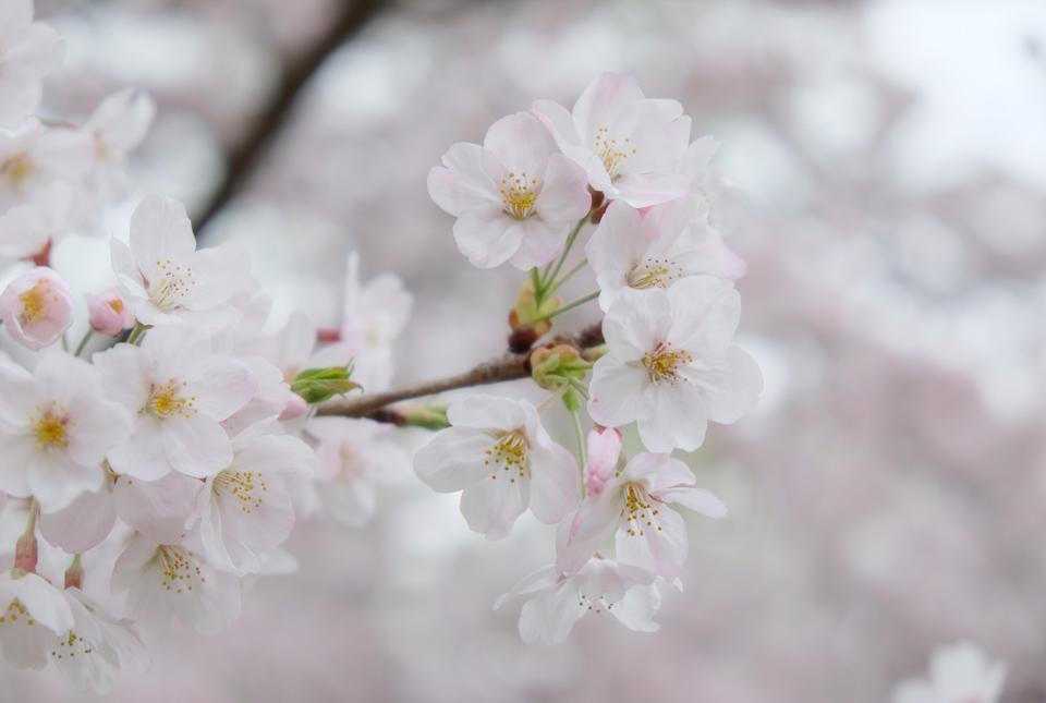 5092 矢川緑地の桜 960×645