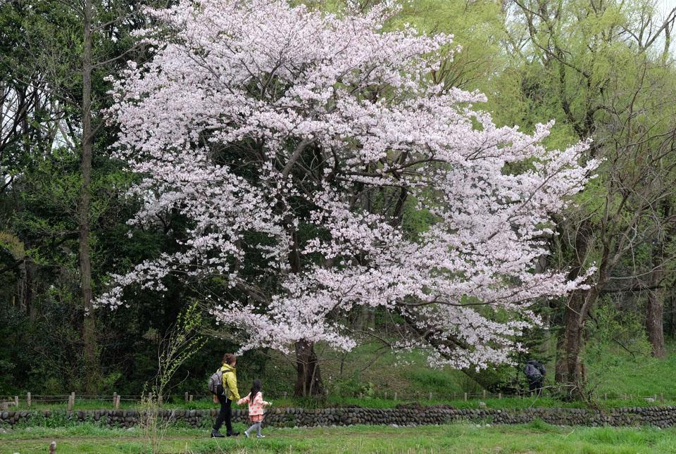 5082 矢川緑地の桜 960×645