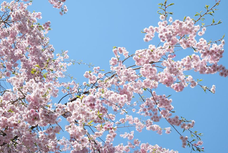 5300 河口湖創造の森の桜 960×645
