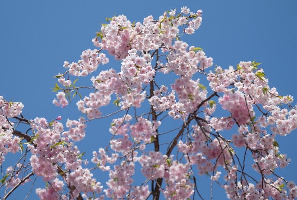 5320 河口湖創造の森の桜 960×645