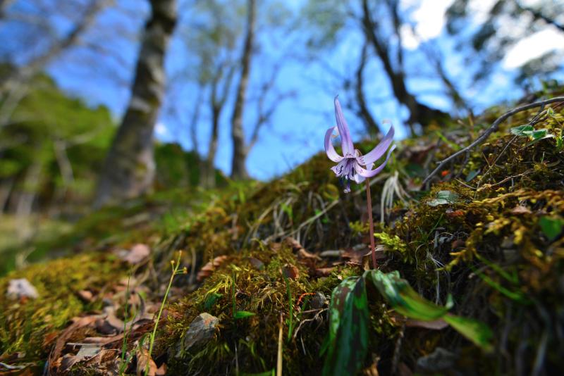 「森に咲く、可憐カタクリの花」 (徳島県上勝町)