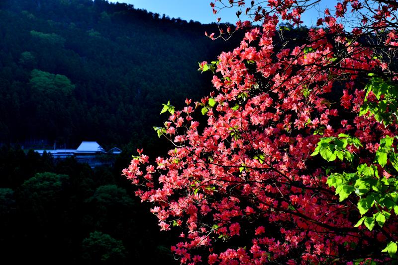 「オンツツジ咲く山村」  (徳島県神山町)
