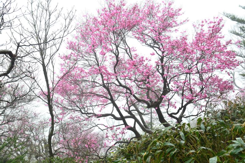 「霧に咲くアケボノツツジ3」 (愛媛県本川村)