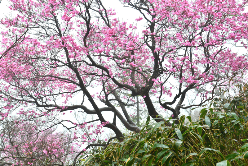 「霧に咲くアケボノツツジ2」 (愛媛県本川村)