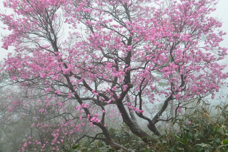 「霧に咲くアケボノツツジ4」 (愛媛県本川村)
