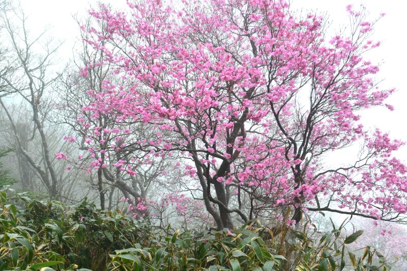 「霧に咲くアケボノツツジ6」 (愛媛県本川村)