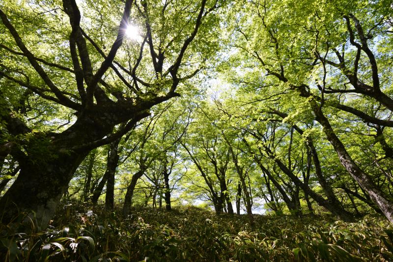 新緑のブナ林 (愛媛県シラサ峠)