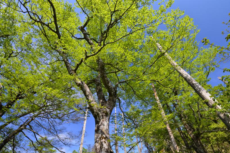 新緑のブナ林2 (愛媛県シラサ峠)