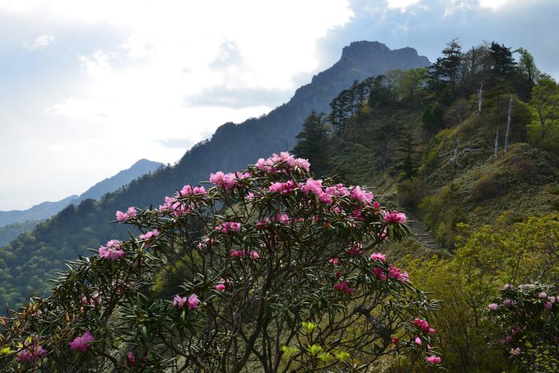 シャクナゲ咲く石鎚山 (愛媛県)