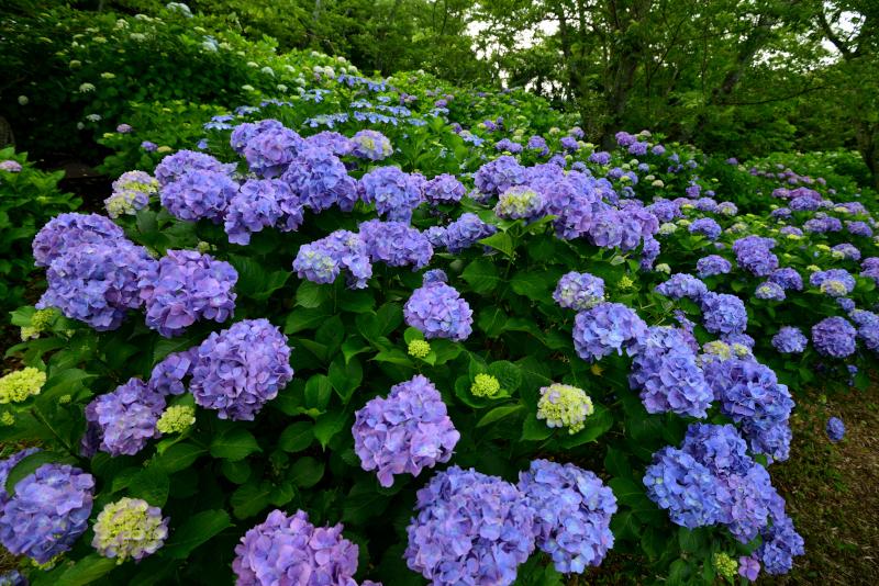 「あじさい咲く紫雲出山4」