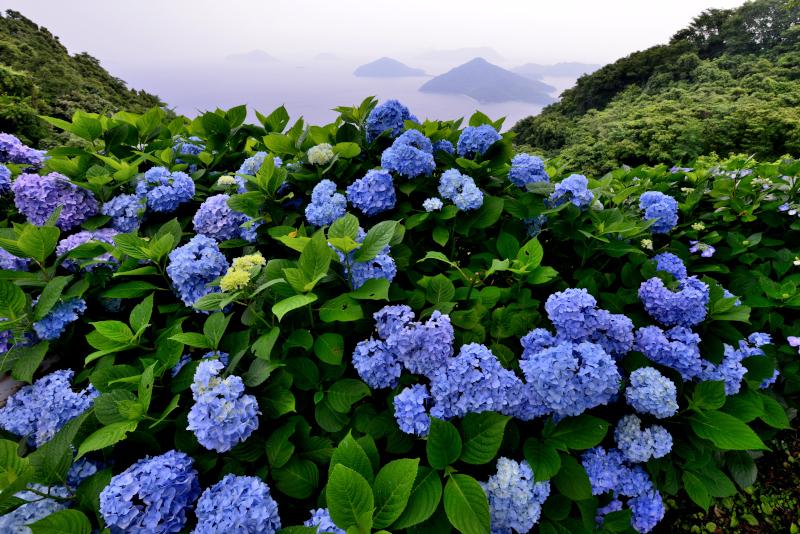 「あじさい咲く紫雲出山1」