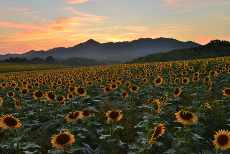 「夕焼のひまわり畑」