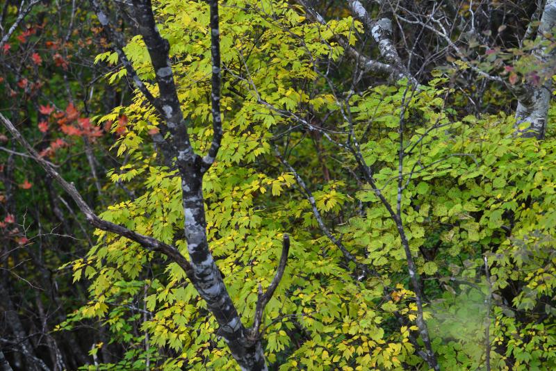 「鮮やかなる黄葉」