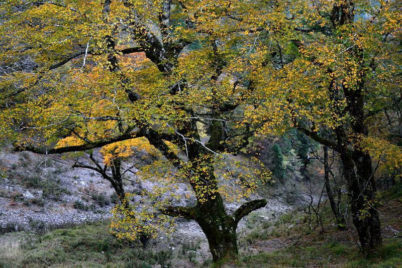 「ブナ林黄金の葉吹雪」