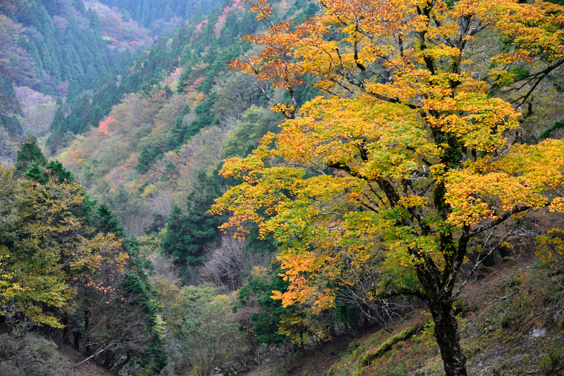 「ブナ、渓谷に映える」