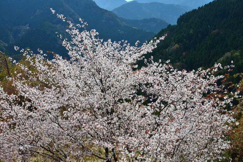 「輝く山桜」 (徳島県木屋平)